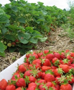Strawberries are ready!